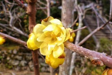 A wintersweet flower, or 'wax plum'