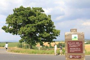 Seven Star Tree อีกหนึ่งต้นไม้ที่มีชื่อเสียงบนถนนเส้นเดียวกัน
