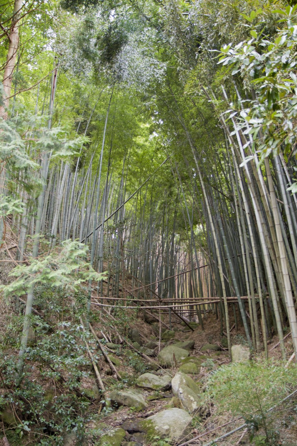 Hear the clacking of a bamboo grove in the spring breeze near the trailhead