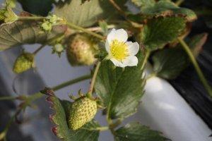 สตรอเบอรี่ที่ยังอ่อน และดอกสีขาวสวยๆ