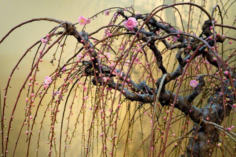 Выставка бонсаев сливовых деревьев