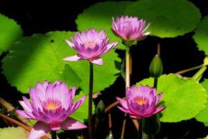 The Lotus Pavilion