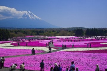 Mt Fuji Tour: Pink Moss Festival, Strawberry Picking