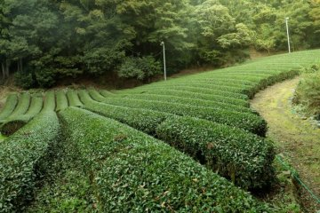 JapanTravel Highlights: Shizuoka Green Tea Experience and Tea Plantation Tour